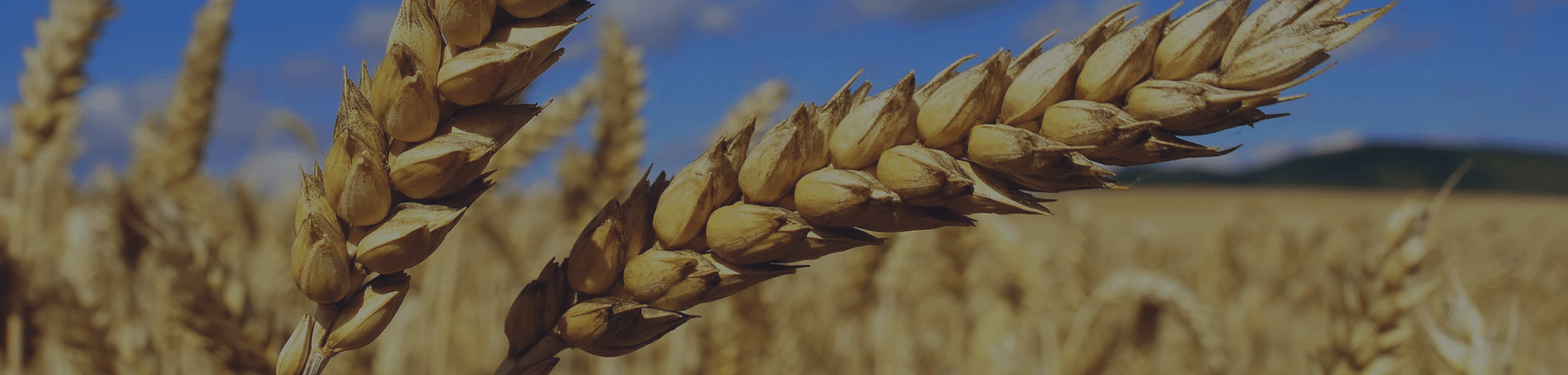 Article Banner Image-wheat-1