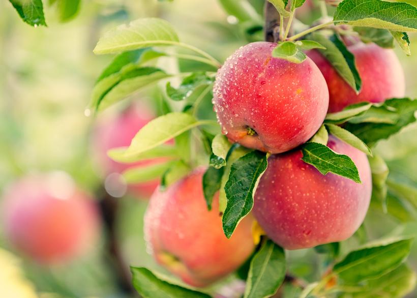 Fotolia_122707848_apples-1